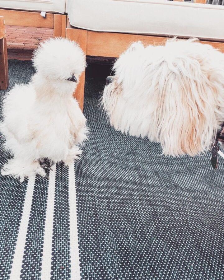 white chicken with white dog