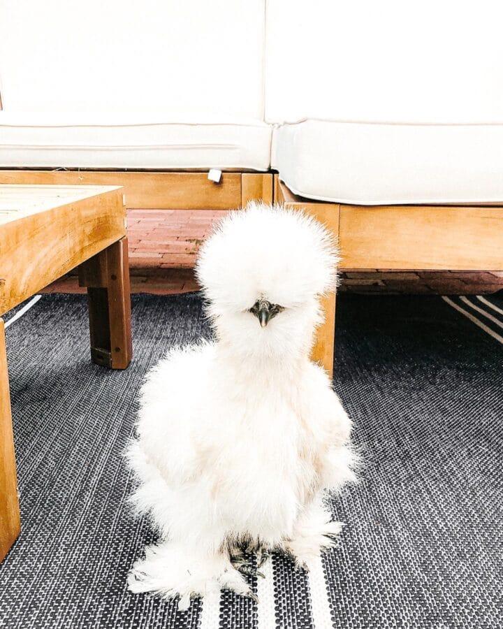 fluffy white chicken